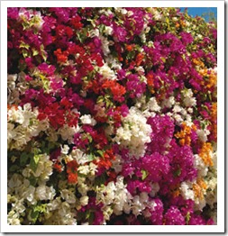 زراعة نبات الجهنمية(المجنونة Bougainvillea Bougainvillea_Assort_08-01_thumb[2].jpg?imgmax=800